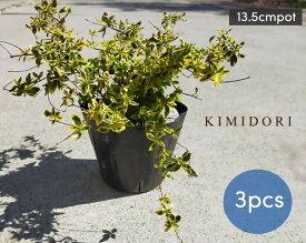 アベリア ホープレイズ 3本 13.5cmポット 低木 グランドカバー カラーリーフ 常緑 花 斑入り 植木 庭木 寄せ植え 花壇 ベランダ 父の日