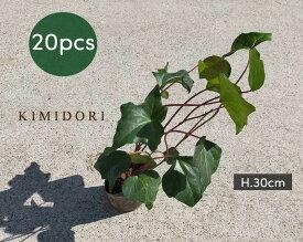 ヘデラ アイビー カナリエンシス 20個セット 9cmポット 苗 植木 庭木 観葉植物 ガーデニング グランドカバー 地植え 丈夫 育てやすい 父の日