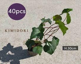 ヘデラ アイビー カナリエンシス 40個セット 9cmポット 苗 植木 庭木 観葉植物 ガーデニング グランドカバー 地植え 育てやすい 洋風 イングリッシュガーデン おしゃれ 父の日