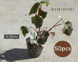 ヘデラ バリエガータ アイビー 50個セット 9cmポット 苗 植木 庭木 観葉植物