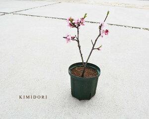 みきドワーフ 桃 約40cm 5号ポット 苗 苗木 シンボルツリー 実 収穫 食べられる 鉢植え 7月 8月 果実 ギフト お祝い ももいろ 桃の木 植木 庭木 ミキドワーフ ピンク 花が咲く3月 4月 ガーデニン