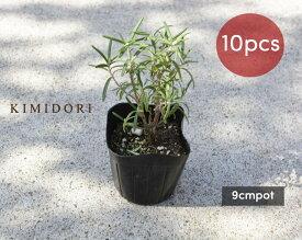 ローズマリー 立性 苗 10個セット 植木 庭木 ハーブ 9cmポット 低木 寄せ植え 母の日
