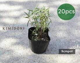 ローズマリー 立性 苗 20個セット 植木 庭木 ハーブ 9cmポット 低木 ミスジェサップ 母の日