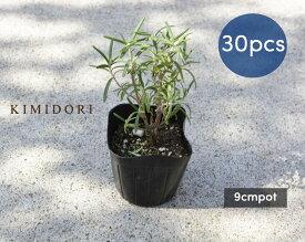 ローズマリー 立性 苗 30個 植木 庭木 ハーブ 9cmポット 低木 ミスジェサップ 母の日