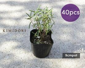ローズマリー 立性 苗 40個セット 植木 庭木 ハーブ 9cmポット 低木 ミスジェサップ 母の日