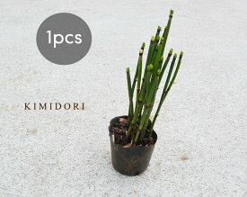 トクサ 10.5cmポット 1個 和風 観葉植物 日本庭園 シダ植物 つくし 茎 樹高約20cm ガーデニング インテリア 園芸 盆栽 生け花 とくさ やすり かっこいい おしゃれ 男前 グリーン 父の日