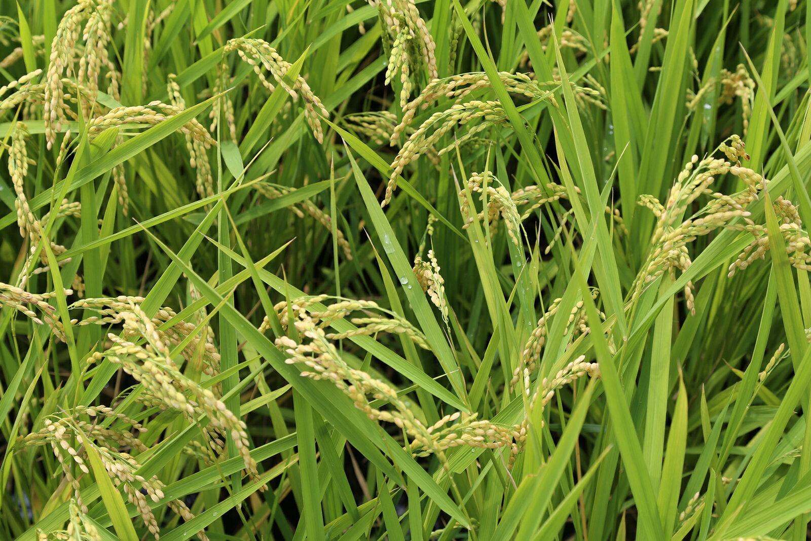 米 お米 新米 日本晴 環境こだわり米 玄米のまま20kgもしくは精米済み白米20kg 【平成30年・滋賀県産】【送料無料】