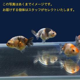 【金魚宝典】江戸錦 当才(6cm±)3匹セット★スタッフがセレクトします!★