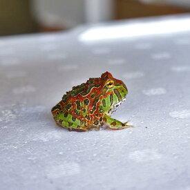 【金魚宝典】ベルツノガエル(レッドタイプ) 1匹★たいへん珍しいレッドタイプです!★☆スタッフセレクト個体☆