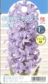 【先行予約!!】【10月より出荷】 □ 水栽培用ヒヤシンス ジャンボ球 青花種 1球