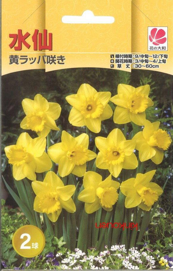 □ 水仙黄ラッパ咲き2球