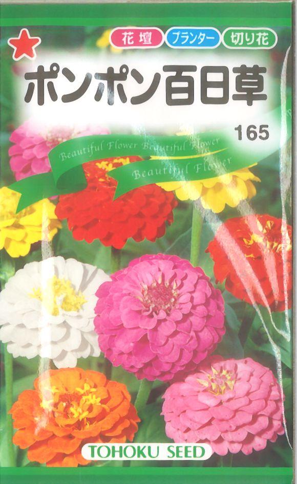 《代引不可》《5袋まで送料80円》 □ポンポン百日草