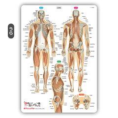 筋肉名前下敷き「筋肉まるわかりシート」勉強学習覚えるA4サイズ両面カラープラスチック暗記