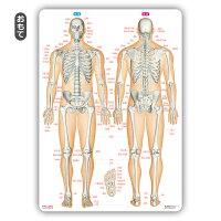 骨靱帯関節名前下敷き「骨と関節まるわかりシート」勉強学習覚えるA4サイズ両面カラープラスチック暗記