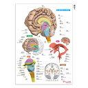 脳 名前 下敷き 「脳まるわかりシート」 勉強 学習 覚える A4サイズ 両面カラー プラスチック 暗記 送料無料 キャンペ…