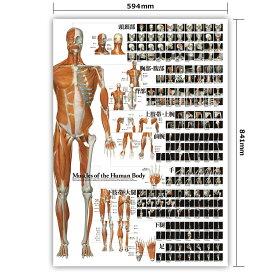 ポスター 筋肉 全身 「全身の骨格筋 特大筋肉ポスター」 A1サイズ フルカラー 送料無料 キャンペーン