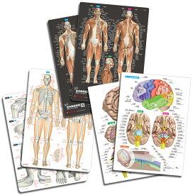 【3枚セットで10%OFF】人体 名前 下敷き 「筋肉&骨と関節&脳 人体まるわかりシート3枚セット」 勉強 学習 覚える A4サイズ 両面カラー プラスチック 暗記 【ふりがな付き】送料無料 キャンペーン