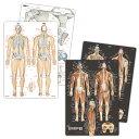 【2枚セット5%OFF】人体 名前 下敷き 「筋肉(改訂版)&骨と関節 人体まるわかりシート2枚セット【ふりがな付き】」…