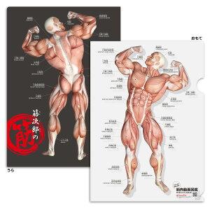 クリアファイル 筋肉 「筋次郎の筋 クリアファイル5枚セット」 A4サイズ 両面カラー 解剖学 名称 名前 送料無料 キャンペーン