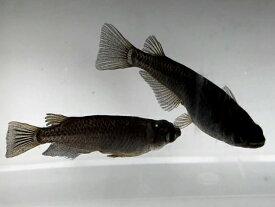 (メダカ) オロチめだか 未選別 稚魚 10匹/ 漆黒 黒 ブラック パンダ メダカ 淡水魚