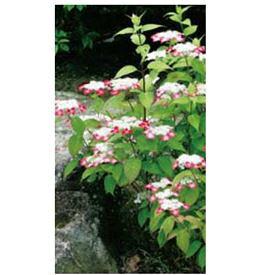 オンリーワン 植栽・美しい花 アジサイ・クレナイ(花が咲いていない状態) WP6-TUAKU