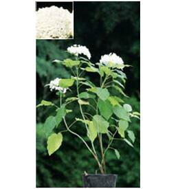 オンリーワン 植栽・美しい花 アジサイ・アナベル(花が咲いていない状態) WP6-TUAA