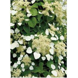 オンリーワン 長尺ツル性植物 イワガラミ・ムーンライト KJ6-TIGM