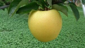 甘味と酸味の絶妙なハーモニー!リンゴ通の方に人気の「シナノゴールド」中級ランク 約5kg(10〜23玉)収穫&発送は10月20日過ぎ頃から順次発送 【送料無料(一部地域は有料)】