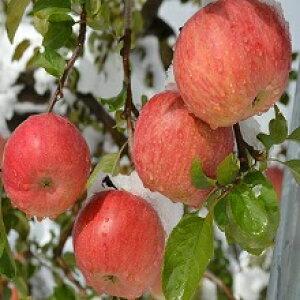 生産農家直送 訳ありりんご「信州の雪の恵み!冠雪サンふじ 」自家用ランク約3kg(6〜12玉)収穫&発送は11月25日過ぎ頃から順次発送予定!(気象条件等により収穫が前後するのでご了承く