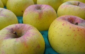 【訳ありリンゴ】フルーティーな甘味が特徴的で食べやすい!人気の黄色種りんご「名月」自家用ランク 約9.6〜10kg(20〜40玉)収穫&発送は11月10日過ぎ頃から順次発送予定!【送料無料(一