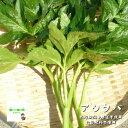 【暑い時期の常温便配送OK!】明日葉(あしたば) 栽培期間中農薬不使用・化学肥料不使用 1束約200g