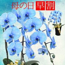 胡蝶蘭母の日花フラワーギフトプレゼントブルーエレガンス色つき胡蝶蘭2本立ちプレゼント用ギフトボックスでお届け