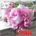 シャクヤク 芍薬 ( 八重咲き )ピンク20本 1本あたり99円+送料別/自分でアレンジ!フラワーバイキング( しゃくやく シャクヤク 芍薬 )