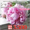 シャクヤク 芍薬 ( 八重咲き )ピンク30本 1本あたり116円+送料無料/自分でアレンジ!フラワーバイキング( しゃくやく シャクヤク 芍薬 )