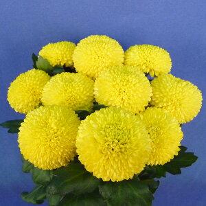 ピンポンマム ピンポン菊 ポンポン菊 5本 切花 生花 切り花 造花ではありません お色おまかせ