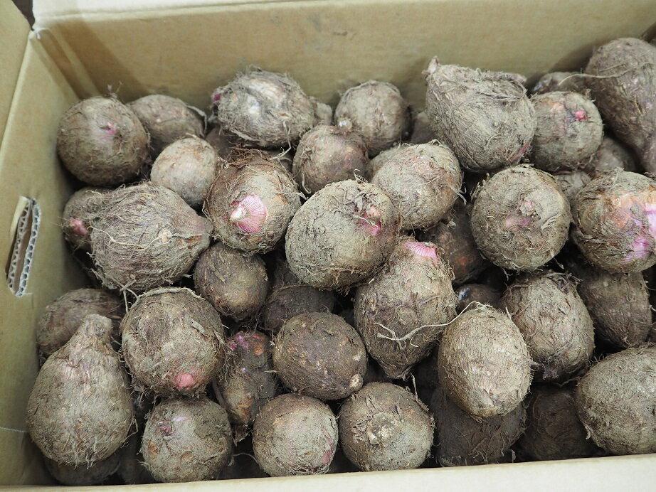 ★千葉産★里芋★1箱4キロ品種【セレベス】子芋種用可
