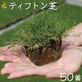 ティフトン419ポット苗(キューブ)25苗1,848円(税込)5平米分: