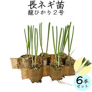 【送料無料】ネギ苗 龍ひかり2号 6個セット お家で野菜を育てよう 家庭菜園 少量生産 ねぎ 野菜苗