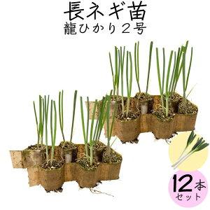 【送料無料】ネギ苗 龍ひかり2号 12個セット お家で野菜を育てよう 家庭菜園 少量生産 ねぎ 野菜苗