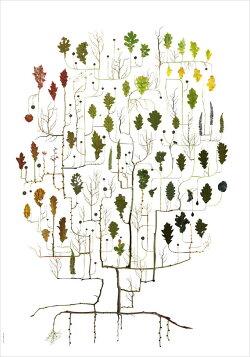 ★草木の標本アートポスターOAKTREEオークの木50x70cm北欧ポスターインテリアタペストリー