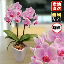胡蝶蘭 ミニ 胡蝶蘭 ミディ 胡蝶蘭 ギフト 3号鉢 2本立 ライトピンク/お花 プレゼント 開店祝い 母の日 父の日 お祝い 贈り物