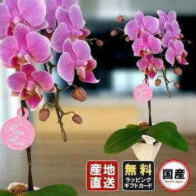 胡蝶蘭 ミニ 胡蝶蘭 ミディ 胡蝶蘭 ギフト 3号鉢 2本立 ピンク01/お花 プレゼント 開店祝い 母の日 父の日 お祝い 贈り物