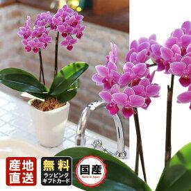 胡蝶蘭 ミニ 胡蝶蘭 ミディ 胡蝶蘭 ギフト 3号鉢 2本立 ピンク02/お花 プレゼント 開店祝い 母の日 父の日 お祝い 贈り物