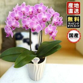 胡蝶蘭 ミニ 胡蝶蘭 ミディ 胡蝶蘭 ギフト 4号鉢 ラージサイズ2本立 ピンク01/お花 プレゼント 開店祝い 母の日 父の日 お祝い 贈り物