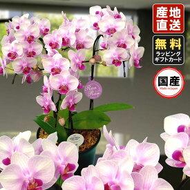 胡蝶蘭 ミニ 胡蝶蘭 ミディ 胡蝶蘭 ギフト 6号鉢 3本立 ライトピンク ランラン お花 プレゼント 開店祝い 母の日 父の日 お祝い 贈り物