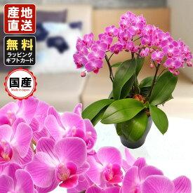 胡蝶蘭 ミニ 胡蝶蘭 ミディ 胡蝶蘭 ギフト 6号鉢 3本立 ピンク01/お花 プレゼント 開店祝い 母の日 父の日 お祝い 贈り物