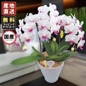 胡蝶蘭 ミニ 胡蝶蘭 ミディ 胡蝶蘭 ギフト 6号鉢 3本立 ホワイト/お花 プレゼント 開店祝い 母の日 父の日 お祝い 贈り物