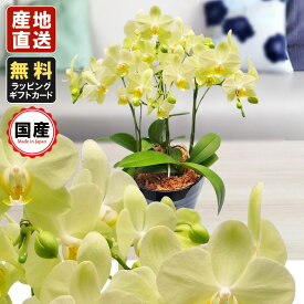 胡蝶蘭 ミニ 胡蝶蘭 ミディ 胡蝶蘭 ギフト 6号鉢 3本立 イエロー/お花 プレゼント 開店祝い 母の日 父の日 お祝い 贈り物