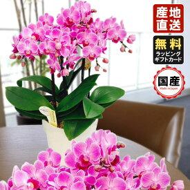 胡蝶蘭 ミニ 胡蝶蘭 ミディ 胡蝶蘭 ギフト 6号鉢 5本立 ピンク01/お花 プレゼント 開店祝い 母の日 父の日 お祝い 贈り物