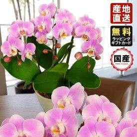 胡蝶蘭 ミニ 胡蝶蘭 ミディ 胡蝶蘭 ギフト 5.5号鉢 3本立 ピンク/お花 プレゼント 開店祝い 母の日 父の日 お祝い 贈り物